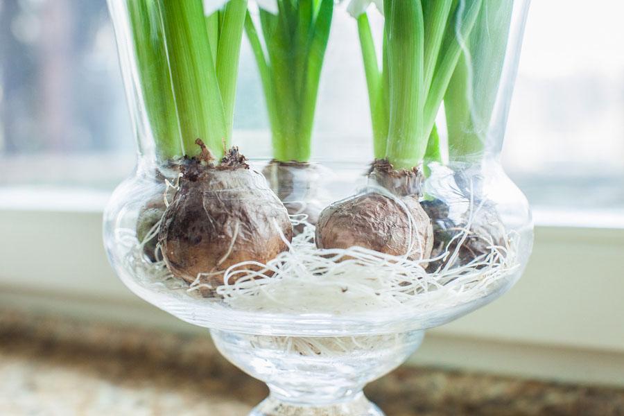 Cebule kwiatów w szklanym wazonie